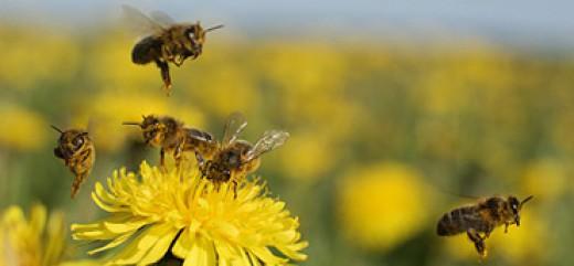 Komunikat o konieczności przestrzegania zasad stosowania środków ochrony roślin w sposób bezpieczny dla pszczół - kwiecień 2018
